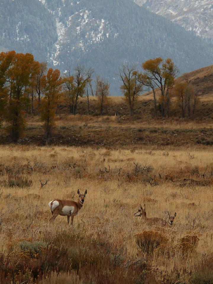 Pronghorns, Grand Teton National Park, WY