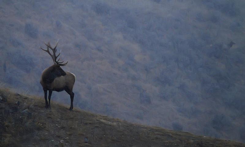 Elk in rutting season, Mammoth Hot Springs, Yellowstone, WY