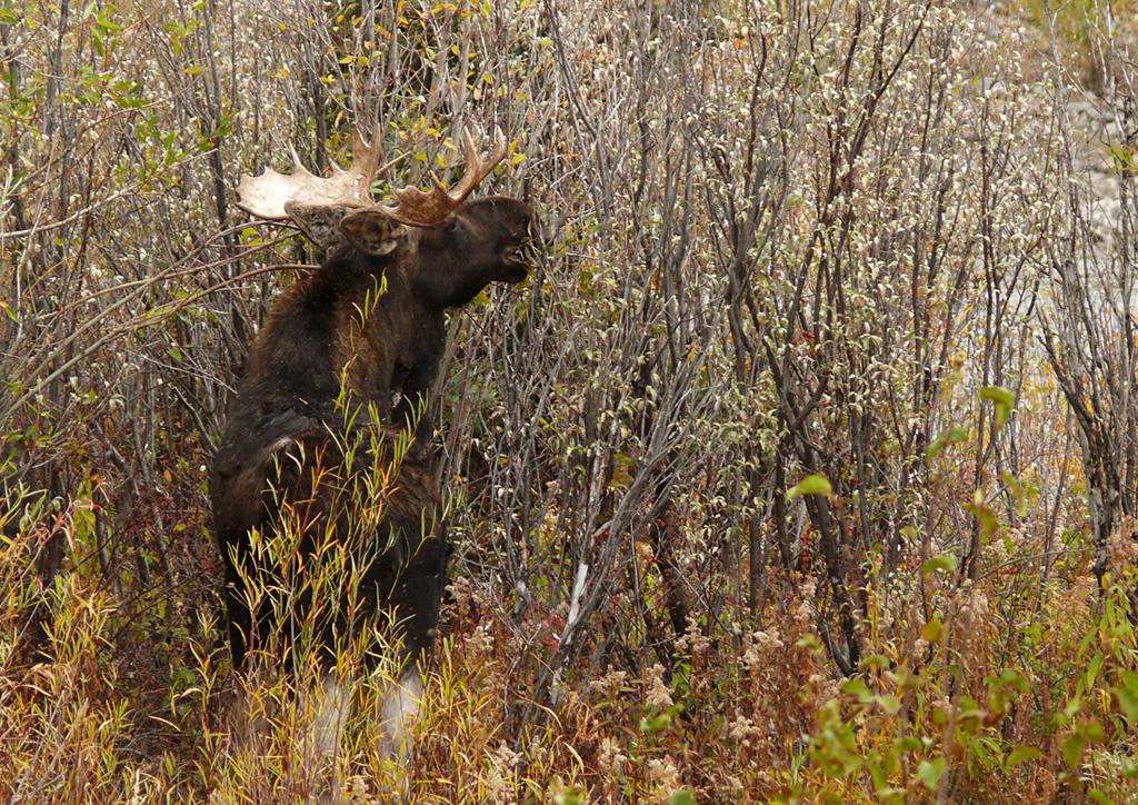 Grazing Moose near Jackson, WY