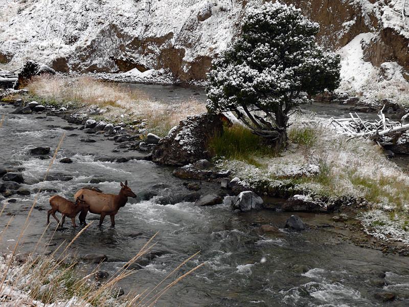 Elk and calf, Gardner River, MT
