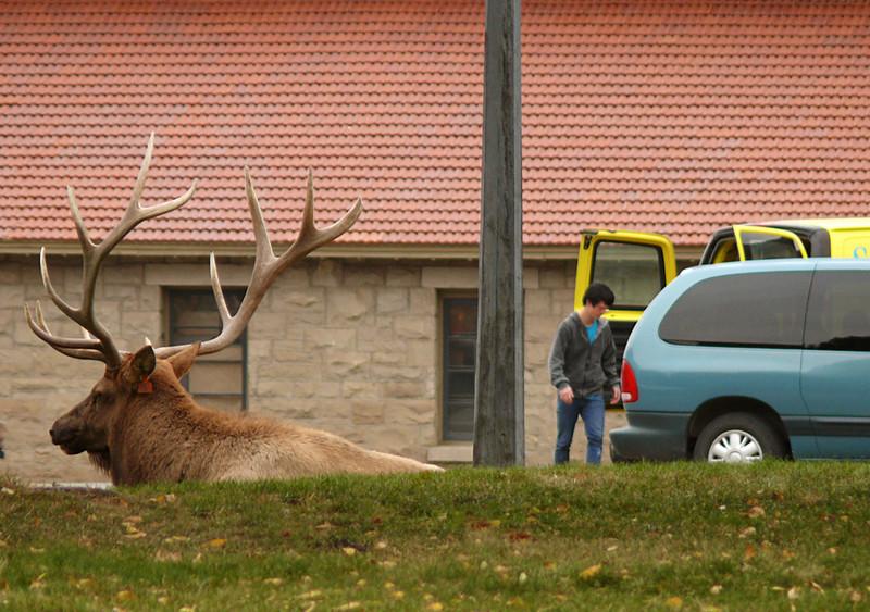 Bull Elk, Mammoth Hot Springs, Yellowstone,WYl
