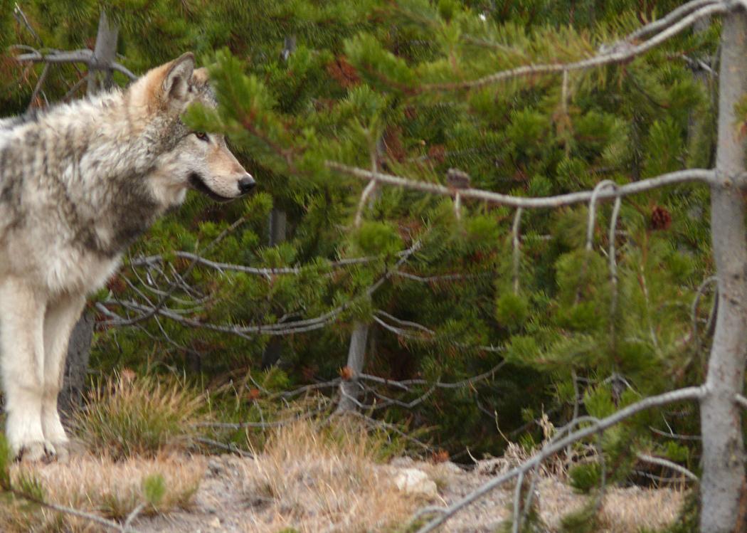 Gray Wolf, Yellowstone, WY