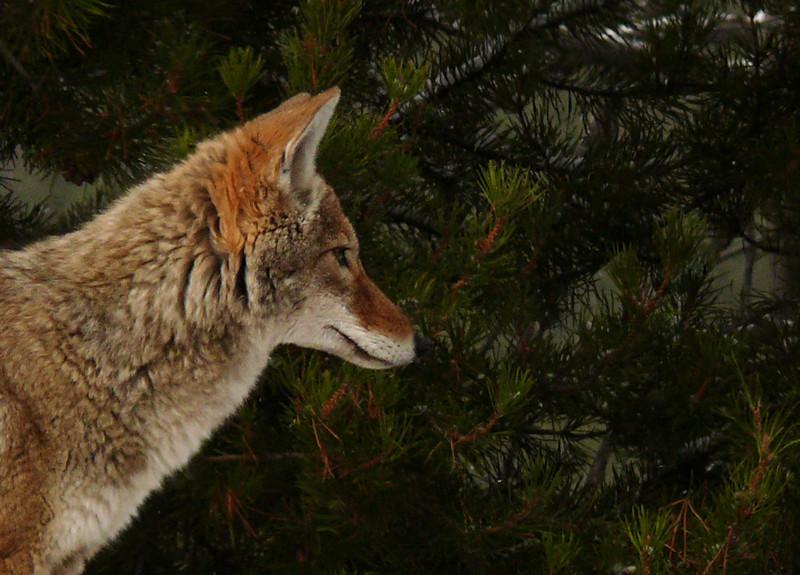 Coyote, Yellowstone, WY