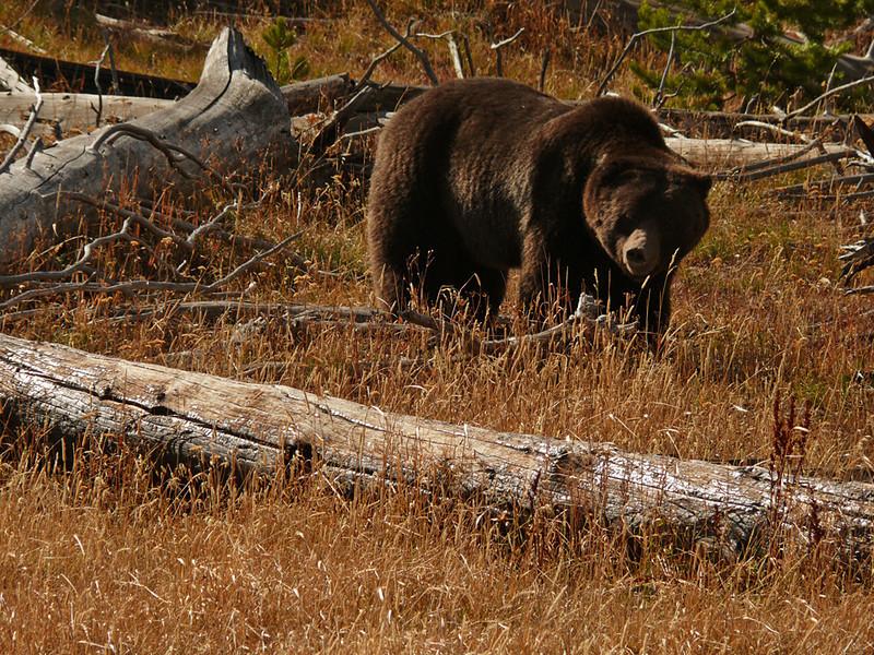 Grizzly, Yellowstone, WY