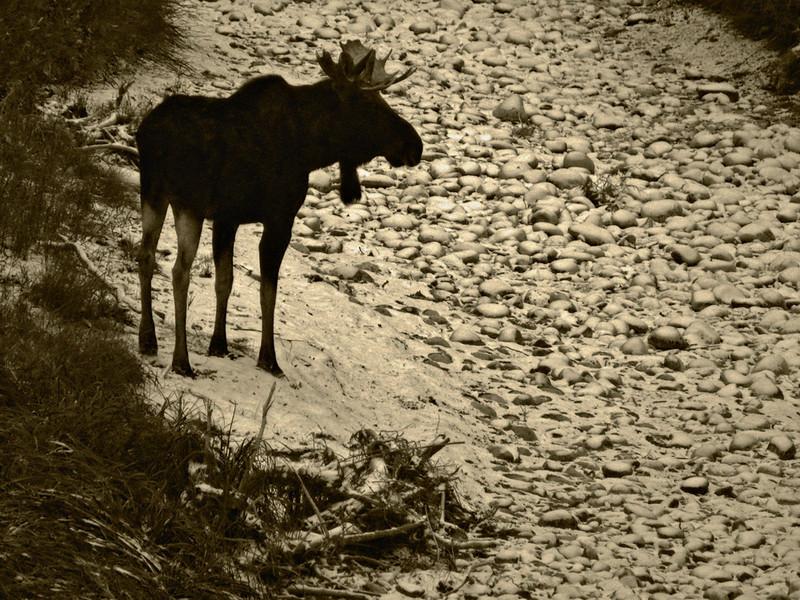 Moose, Grand Teton National Park, WY