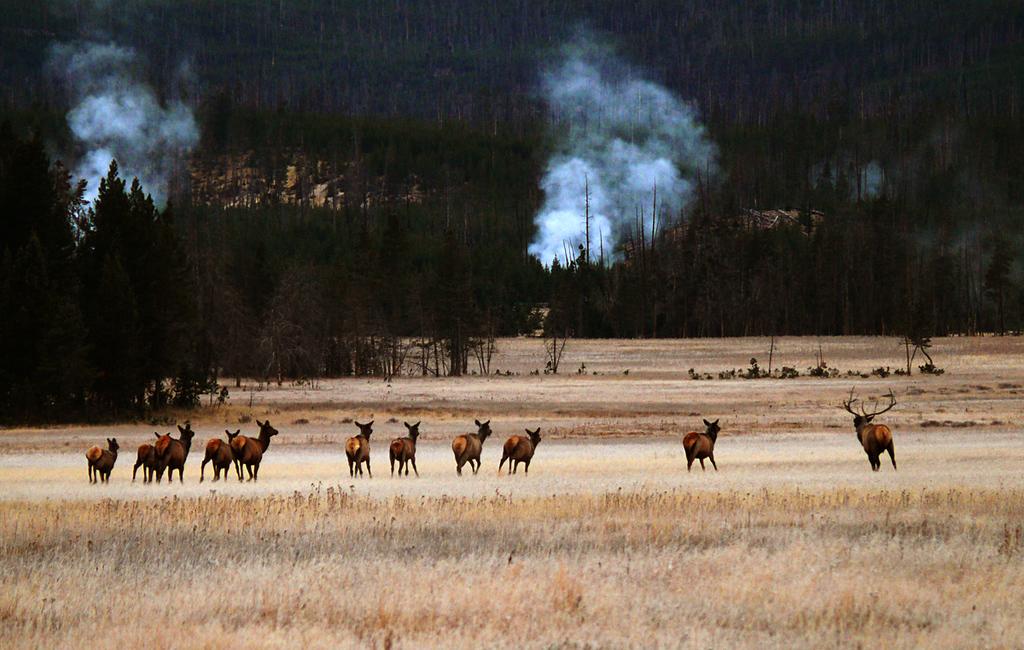 Fleeing Elk, Yellowstone, WY