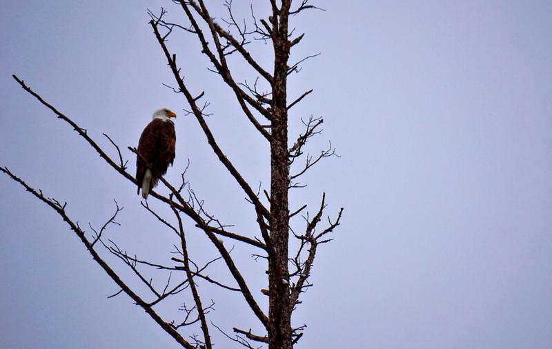 Bald eagle on the Madison River