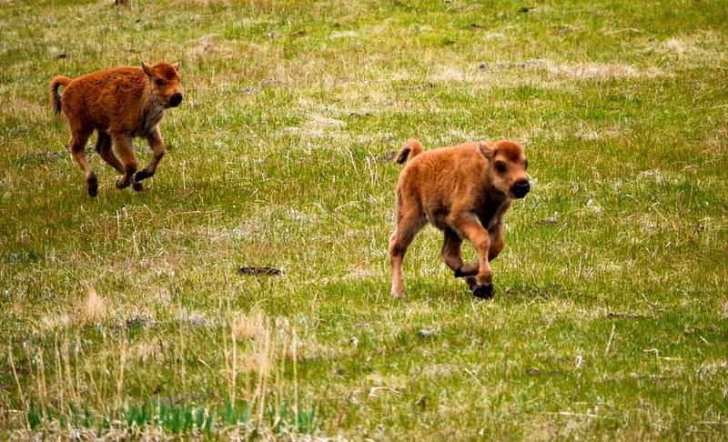 New born bison calves, Lamar Valley