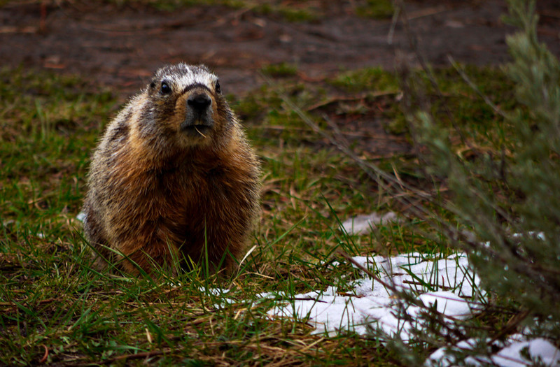 Marmot, Sheepeater Cliffs