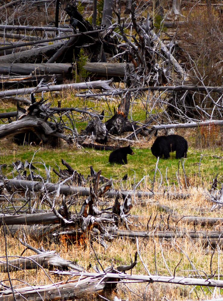 New cub, Lamar Valley