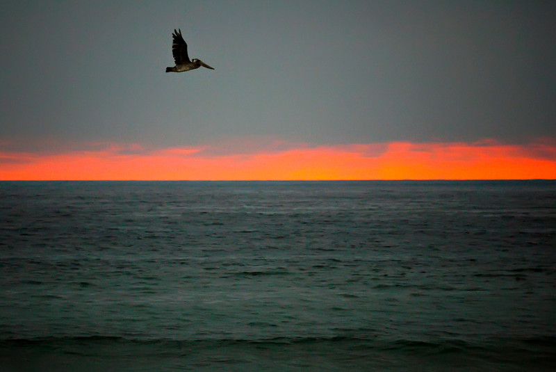 Pelican over Mission Beach