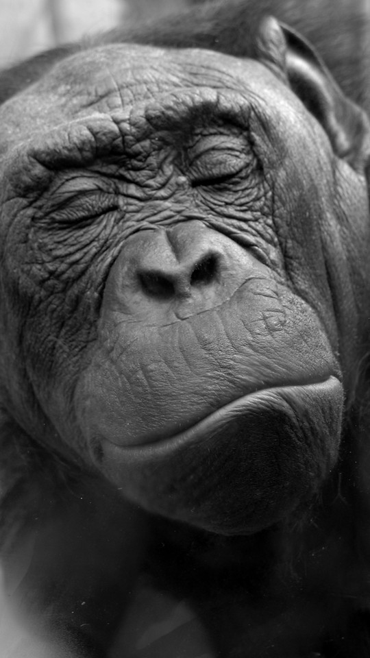 Pygmy chimp, San Diego Zoo