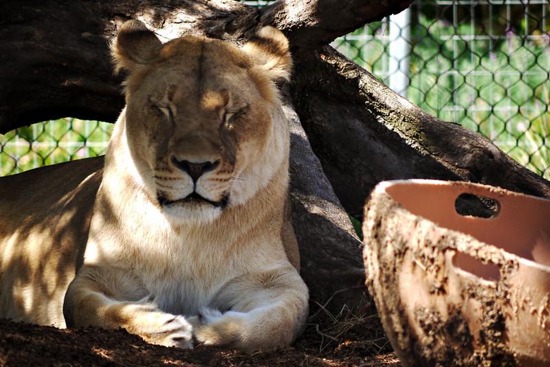 Dozing lioness, San Diego Zoo