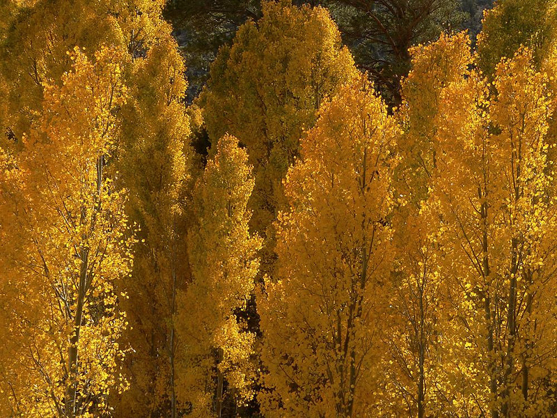 Autumnal Aspens, Lee Vining Canyon - Strong side lighting brings out the texture and depth of color in these Aspens near Californias Mono Lake.