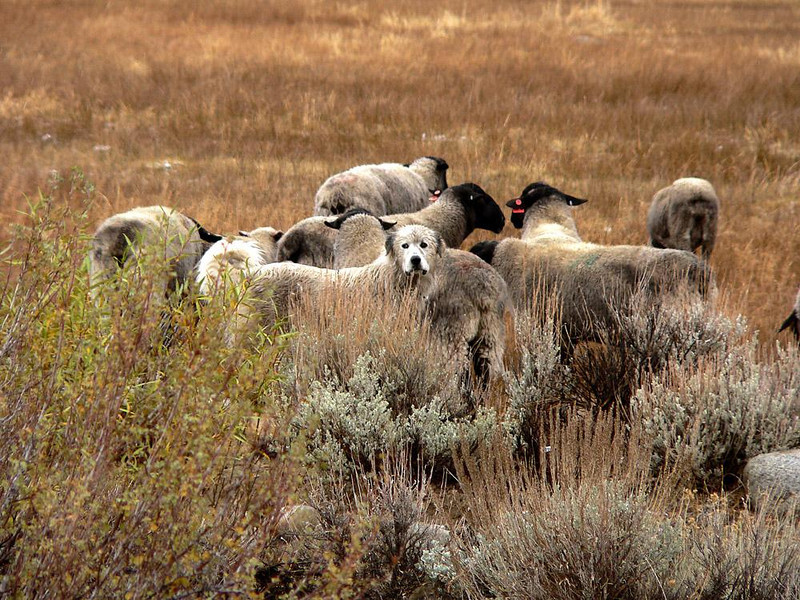 Guardian of the Flock, near Bishop - As we made our descent from the Sierra near Bishop, California, I saw a flock of sheep grazing in the pouring rain. A soaked Great Pyrenees, who stares me down through the sage, protects this particular group.