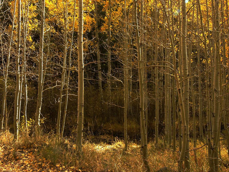 Aspen Forest, Lee Vining Canyon - If nature were to build its cathedral, it would probably look something like this.