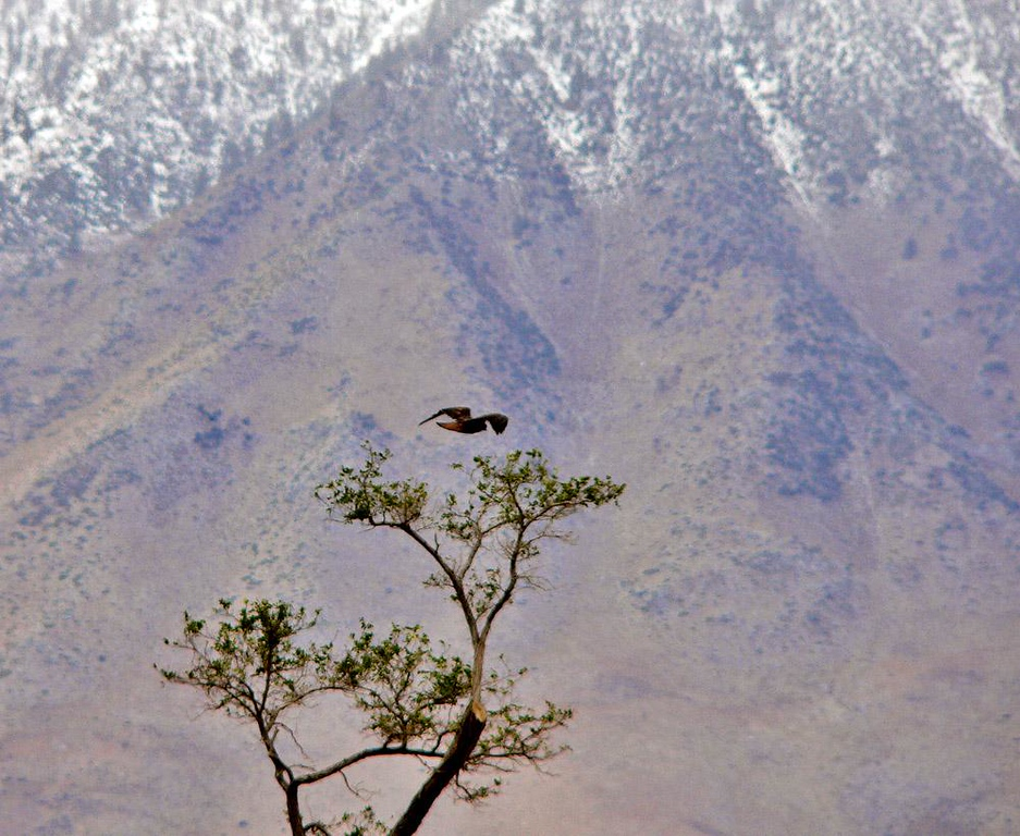 Hawk Aloft in the Owens Valley - Californias beautiful Owens Valley follows the Owens River between the Eastern flank of the Sierra Nevada and the Inyo Mountains. I captured this hawk as it flew through the valley not far from Mount Whitney, the highest mountain in the US outside of Alaska.