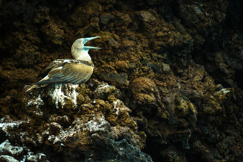Blue Footed Booby attracting a mate, Punta Cormorant, Floreana Island, The Galapagos