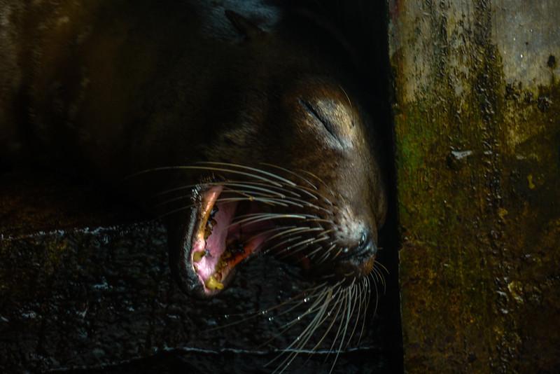 Sea Lion, Baltra Island, The Galapagos