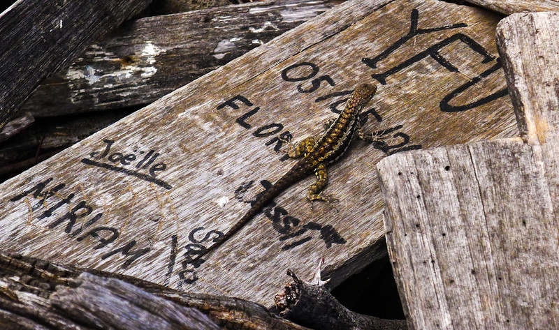 Lava Lizard  roaming the grafitti at Post Office Bay, Floreana Island, The Galapagos