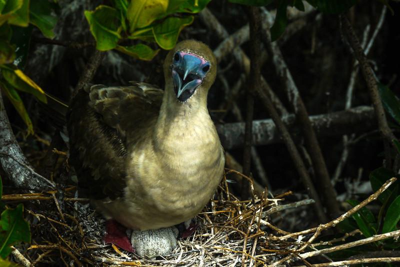 Assertive Red Footed Booby and chick, Darwin Bay, Genovesa Island, The Galapagos