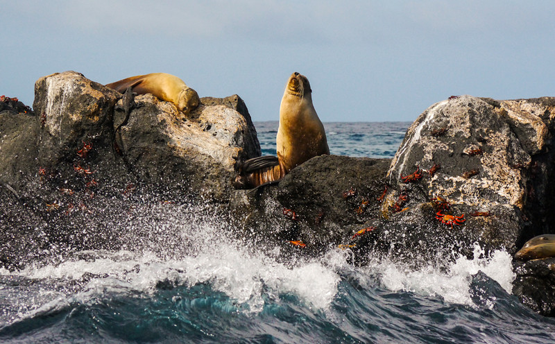 Sea Lions with Sally Lightfoot crabs off Santa Fe Island, The Galapagos