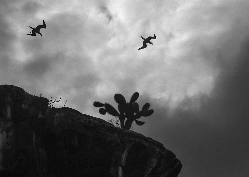 Red Footed Boobies aloft, Darwin Bay, Genovesa Island, The Galapagos