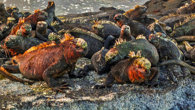 Marine Iguanas, Punta Espinosa, Fernandina Island, The Galapagos
