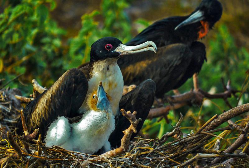 Nesting Frigatebird family, Prince Philip's Steps, Genovesa Island, The Galapagos