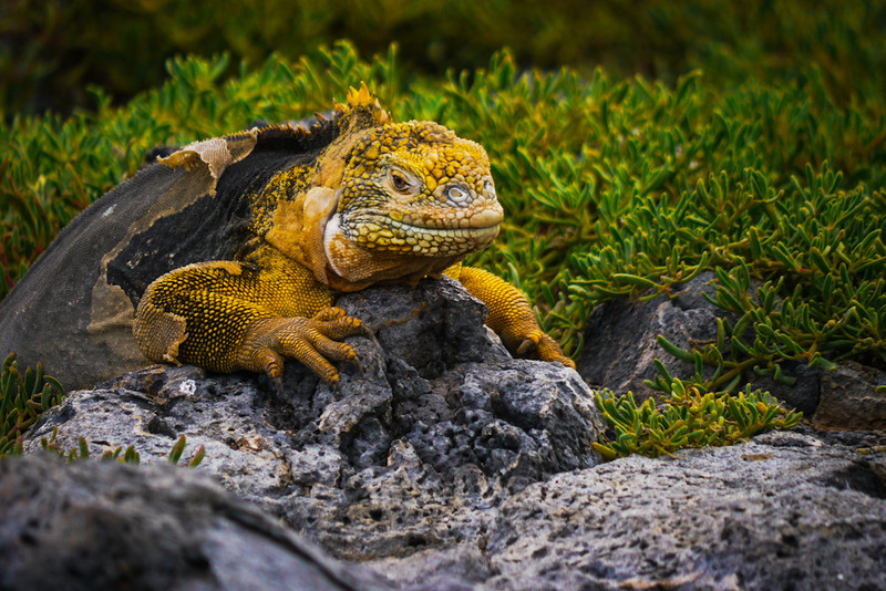 Land Iguana, South Plaza Island  The Galapagos