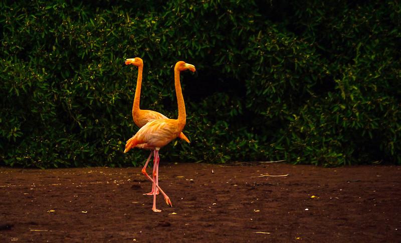 Flamingo Duet, Rabida Island, The Galapagos