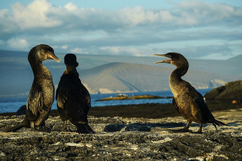 Mating dialogue, Flightless Cormorants, Punta Espinosa, Fernandina Island, The Galapagos
