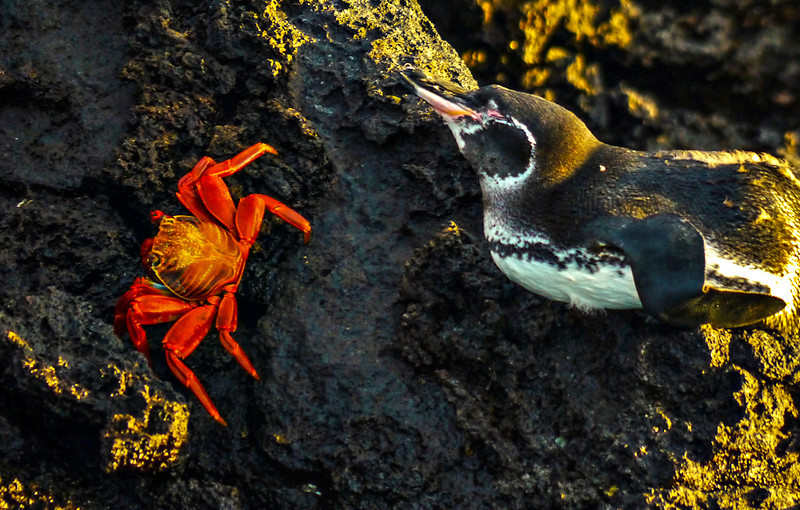 Sally Lightfoot crab approaches Galapagos Penguin, Santiago Island, The Galapagos