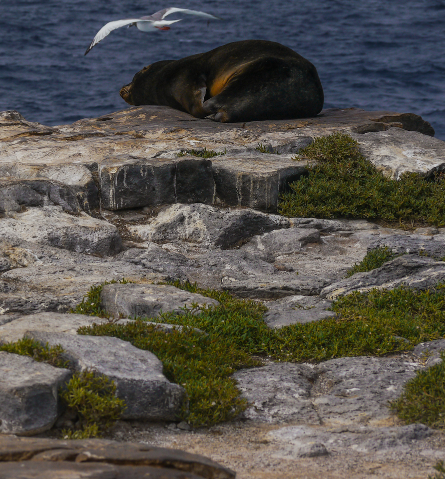 Gull and Sea Lion, South Plaza Island, The Galapagos