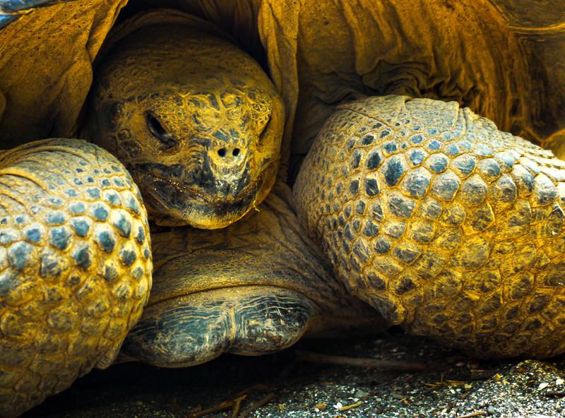 Galapagos Tortoise, Urbina Bay, Isabela Island, The Galapagos