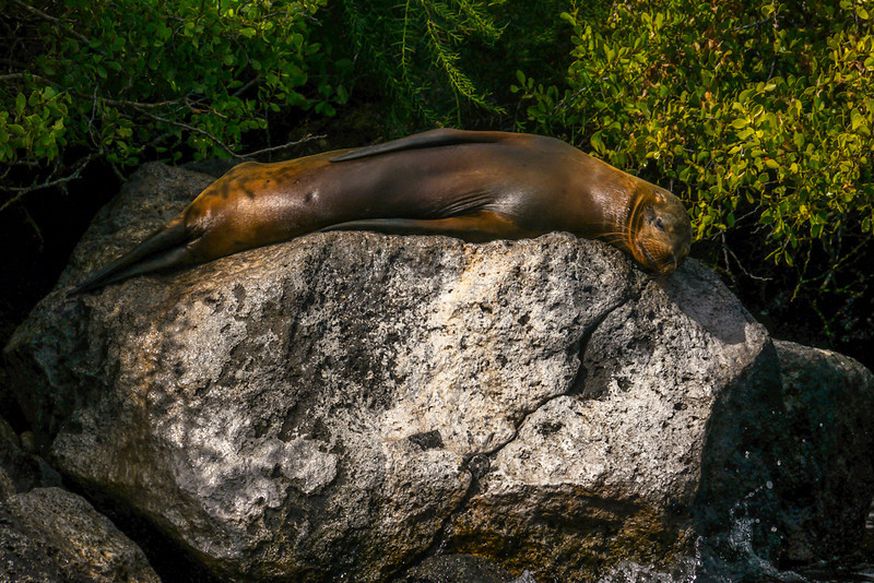Sleeping Sea Lion, Santa Fe Island, The Galapagos