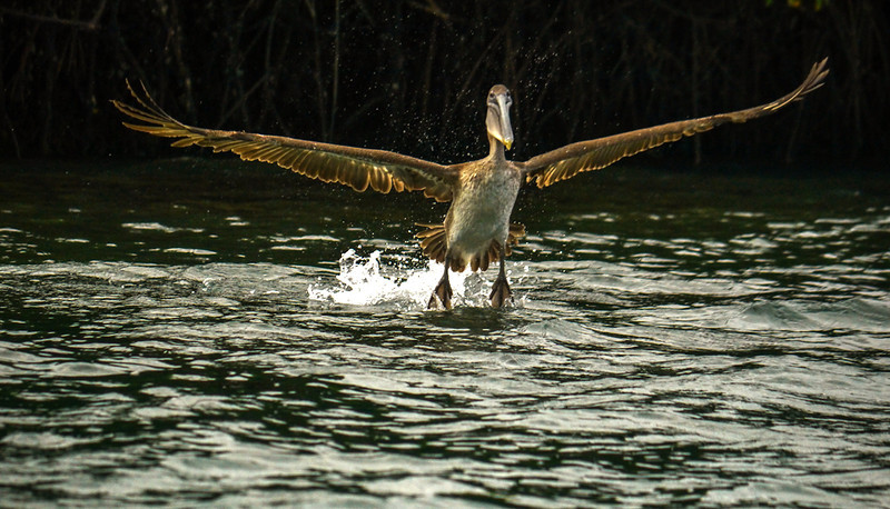 Pelican takes flight, Black Turtle Cove, Santa Cruz Island, The Galapagos
