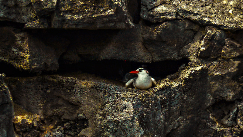 Red-billed Tropicbird, Darwin Bay, Genovesa Island, The Gapagos