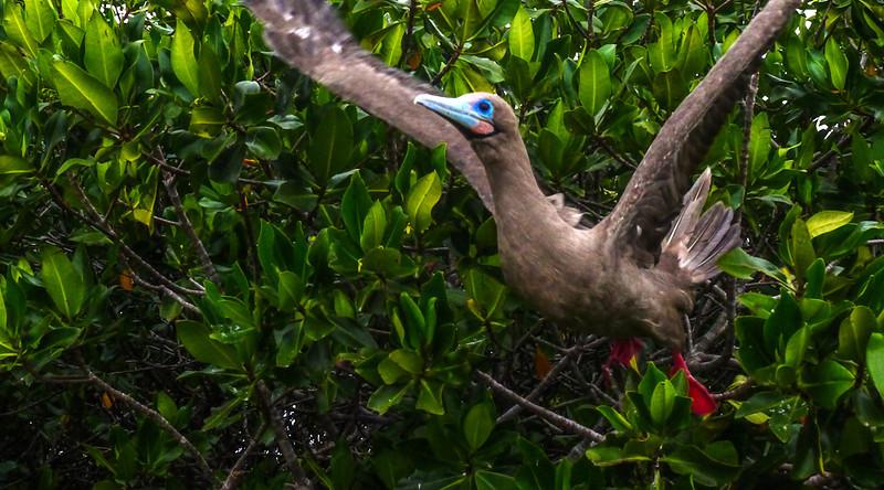 Red footed Booby takes flight, Darwin Bay, Genovesa Island, The Galapagos