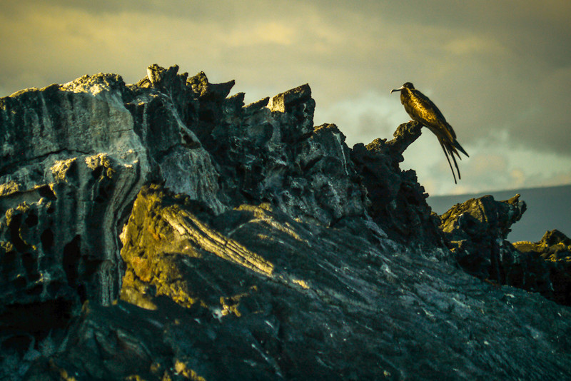 Great Frigatebird, Punta Espinosa, Fernandina Island, The Galapagos