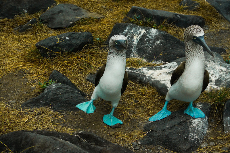 Blue Footed Boobies, Punta Saurez, Espanola Island, The Galapagos