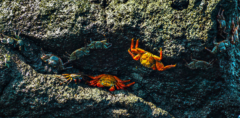 Sally Lightfoot crabs, Urbina Bay, Isabela Island, The Galapagos