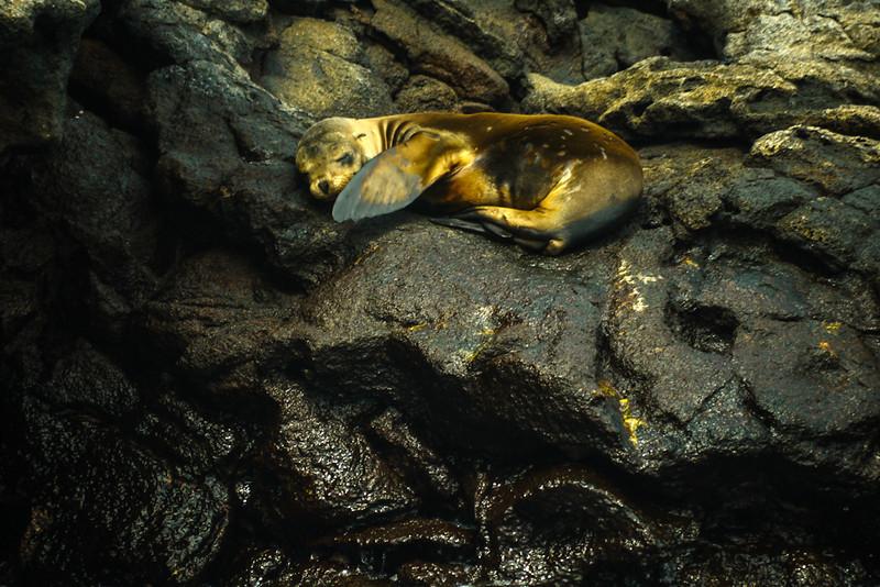 Fur seal pup, Rabida Island, The Galapagos
