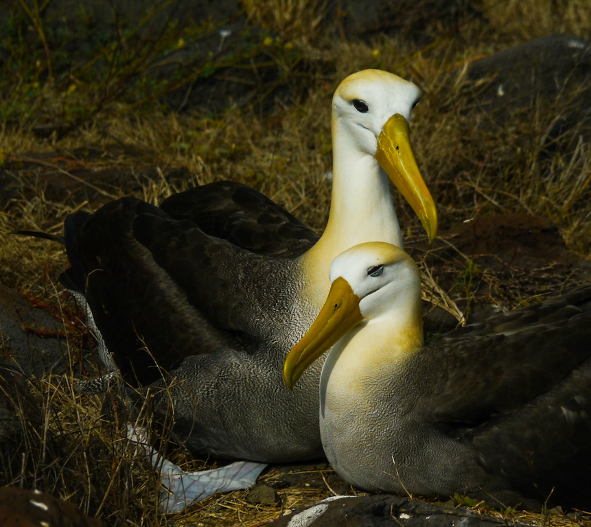 Family portrait, Waved Albatross, Punta Saurez, Espanola Island, The Galapagos