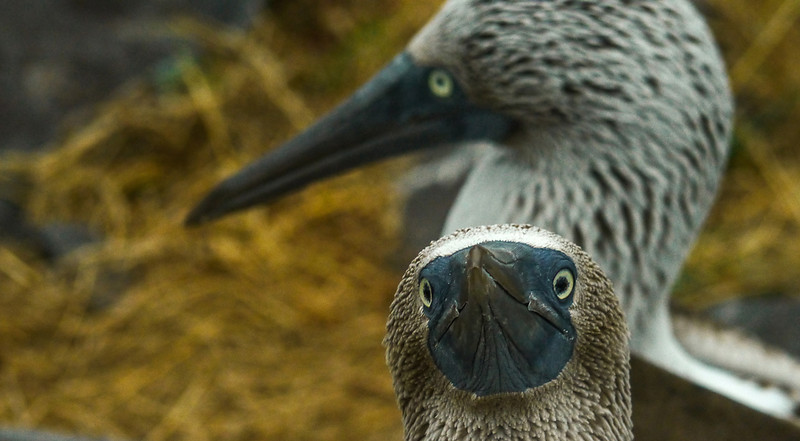 Curious Blue Footed Booby, Punta Saurez, Epsanola Island, The Galapagos