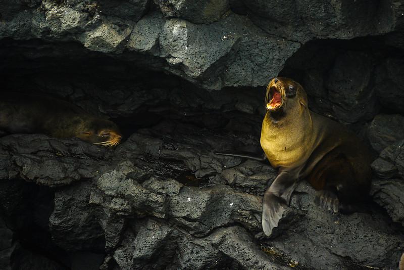 Fur seals, Puerto Egas, Santiago Island, The Galapagos