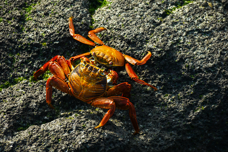 Crab fight, Punta Espinosa, Fernandina Island, The Galapagos