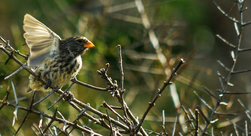 Female Vegetarian Finch, Urbina Bay, Isabela Island, The Galapagos