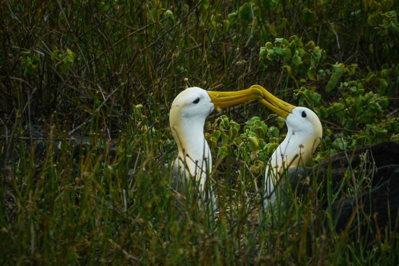 Mating dance, Waved Albatrosses, Punta Suarez, Espanola Island, The Galapagos
