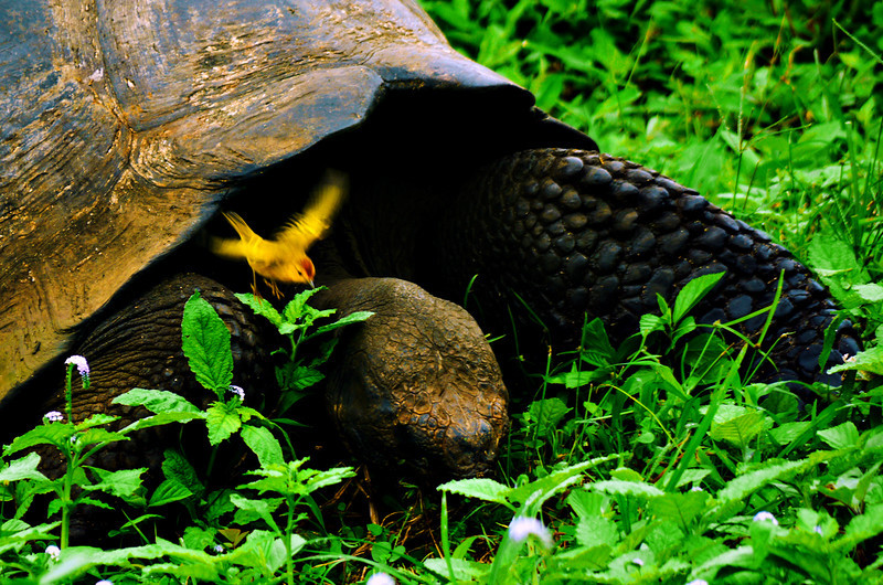Yellow Warbler leaving the shoulder of a Galapagos Tortoise, El Chato, Santa Cruz Island, The Galapagos
